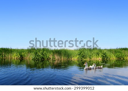 River landscape, clear blue sky, the waves on the water, geese on water, green tourism, travel along the river, boating, river flora and fauna, summer sunny day, aquatic vegetation. - stock photo