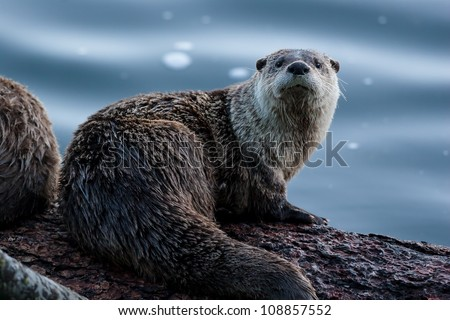 River Otter - stock photo