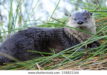 river otter in reeds - stock photo
