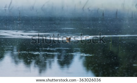 River otters swim in the lake in the evening - stock photo