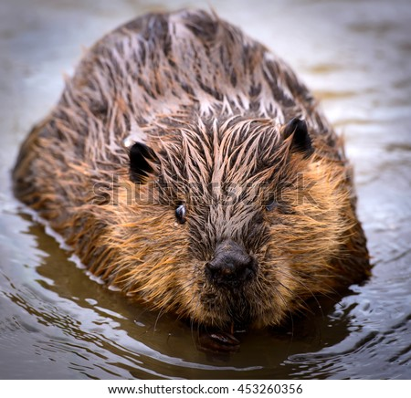 River Rat, Wild Beaver in the water isolated