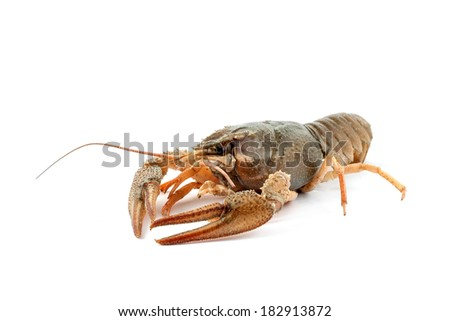 River raw crayfish closeup on white background