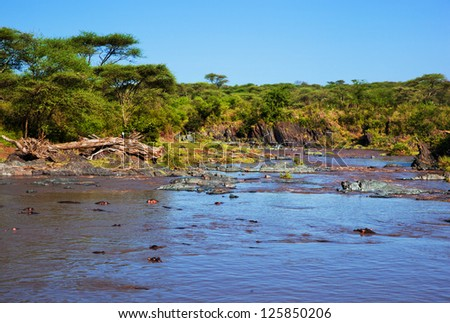 River with hippo, hippopotamus group. Safari in Serengeti, Tanzania, Africa