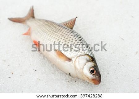 Roach lying on snow, late winter catch - stock photo