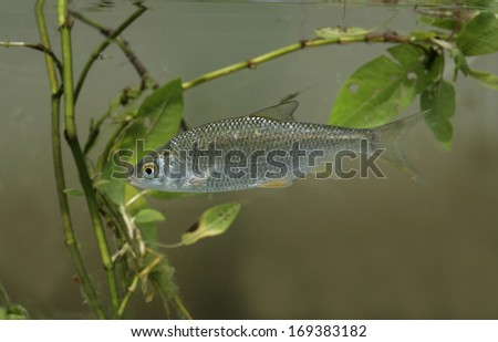 Roach, Rutilus rutilus, single fish in water