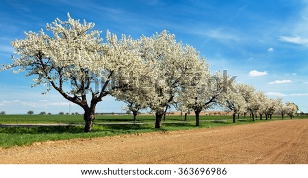 road and alley of flowering cherry-trees with beautiful sky - stock photo