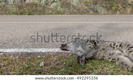 Road and perspective view of dead Genet / Genetta genetta