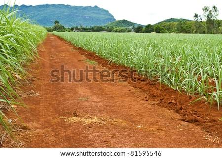 Road in sugar cane farmland - stock photo