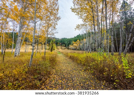 Road through a golden birch grove in autumn,  Mountain Home Road, LEAVENWORTH AREA, Washington state - stock photo