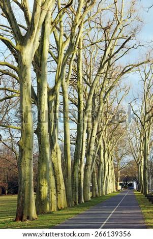 Road through platanus tree alley - stock photo