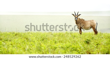 Roan Antelope on the Hills of Nyika Plateau, Malawi, Africa - stock photo