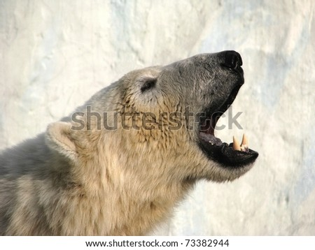 Roar of polar bear on background of the block of ice. - stock photo