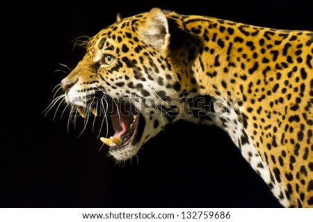 Roaring Adult Female Jaguar over black background - stock photo