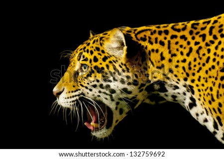 Roaring Adult Female Jaguar over black background - stock photo