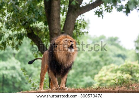 Roaring adult lion. - stock photo