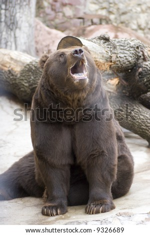 Roaring bear sitting in cold weather outside - stock photo