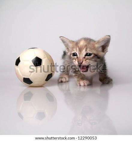 Roaring kitten isolated on white background with plastic ball