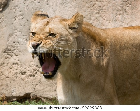 Roaring Lioness - stock photo