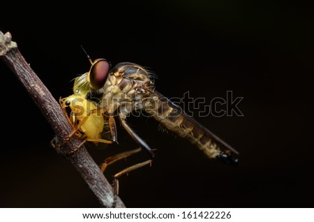 Robber fly are eating / breakfast a bug in the morning day