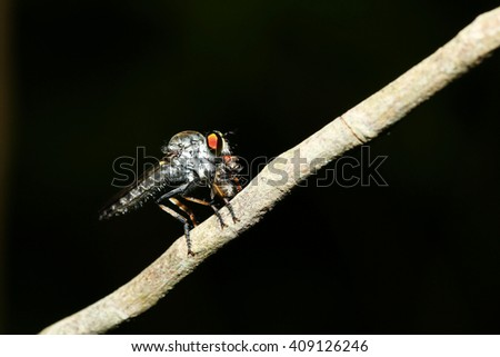 Robber fly insect macro eat moths - stock photo