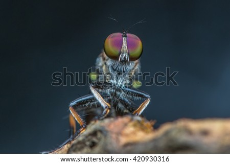 Robber Fly / Macro Shot of the Robber Fly - stock photo