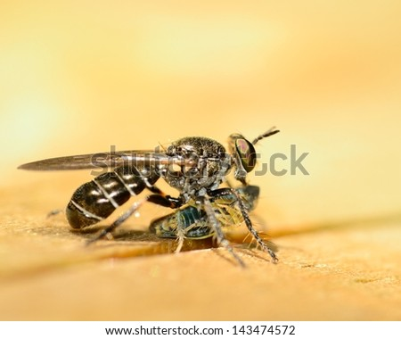 Robber Fly perched on a wooden plank eating prey.