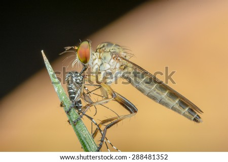 Robber Fly with Prey