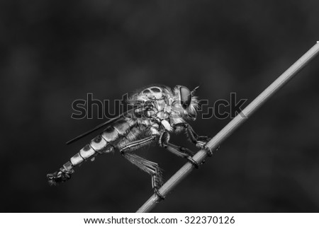 Robberfly,Black and white