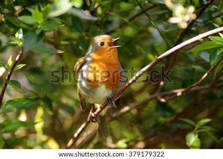 Robin - stock photo