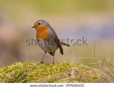 Robin, A sweet and very popular little bird. (erithacus rubecula).