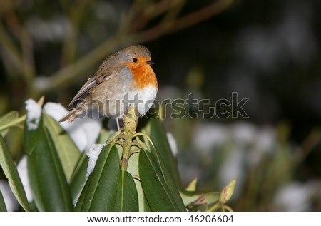 Robin at a rhododendron - stock photo