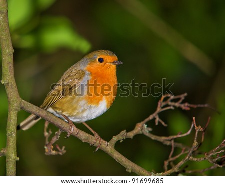 Robin at Rest - stock photo