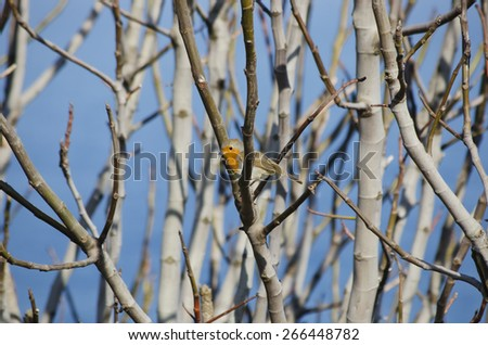 Robin Bird at Tree Branches Over Blue Sky - stock photo