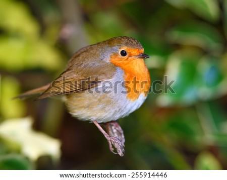 Robin bird on the branch - stock photo