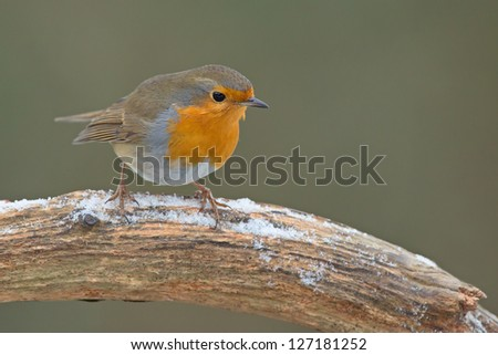 Robin (Erithacus rubecula) in the snow