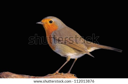 Robin, Erithacus rubecula on a black background.