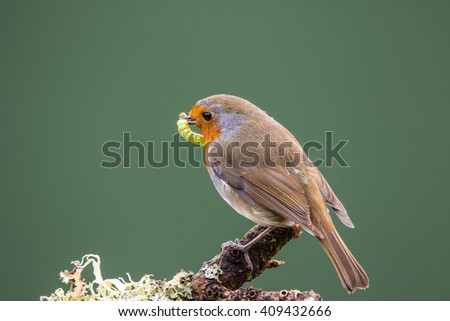 Robin (Erithacus rubecula)perched on a branch, in spring, holding a green caterpillar, preparing to feed its young - stock photo