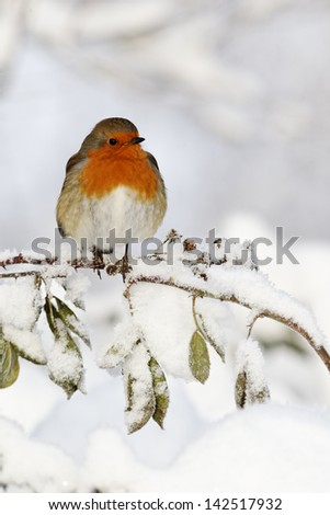 Robin, Erithacus rubecula, single bird in snow, West Midlands, December 2010 - stock photo