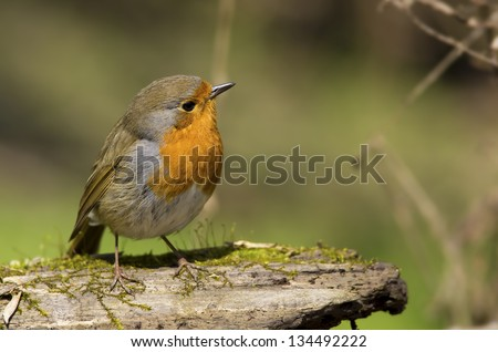Robin from Europe - stock photo
