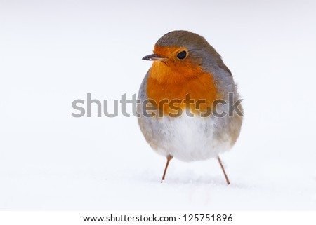 robin in the snow - stock photo