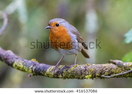 Robin on a branch in a woodland setting. - stock photo