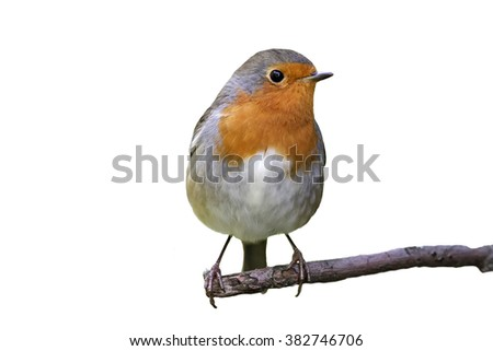 Robin on a branch on white background - stock photo