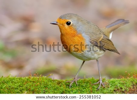 Robin on tha lichen - stock photo