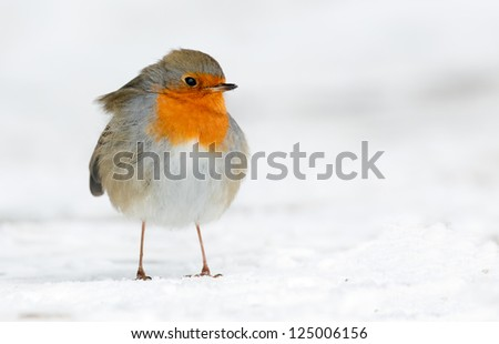 Robin on the grond in the snow - stock photo