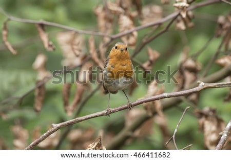 Robin perched on a branch, close up