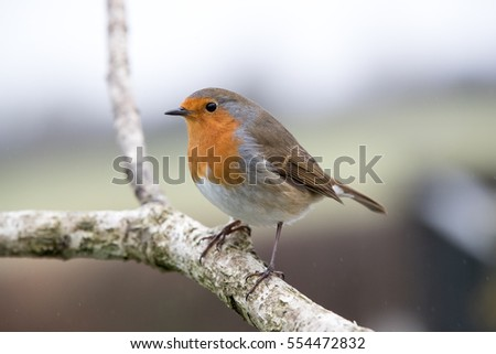 Robin perched on a branch with natural background behind