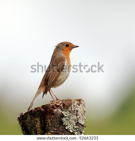 Robin perched on a broken tree stump