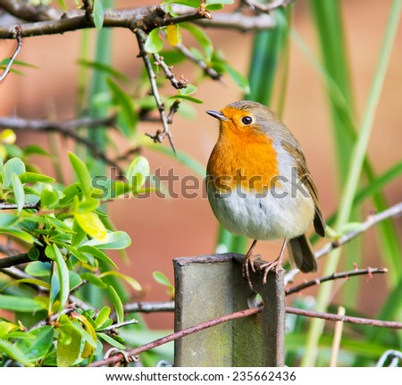 Robin perched on a fence post. - stock photo