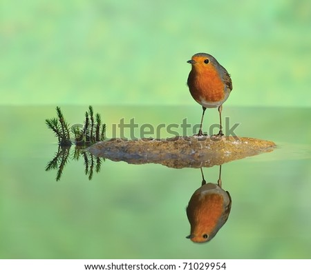 Robin perched on a rock in the river. - stock photo