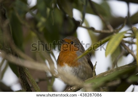 Robin Red Breast (Erithacus rubecula) spotted outdoors in Dublin, Ireland